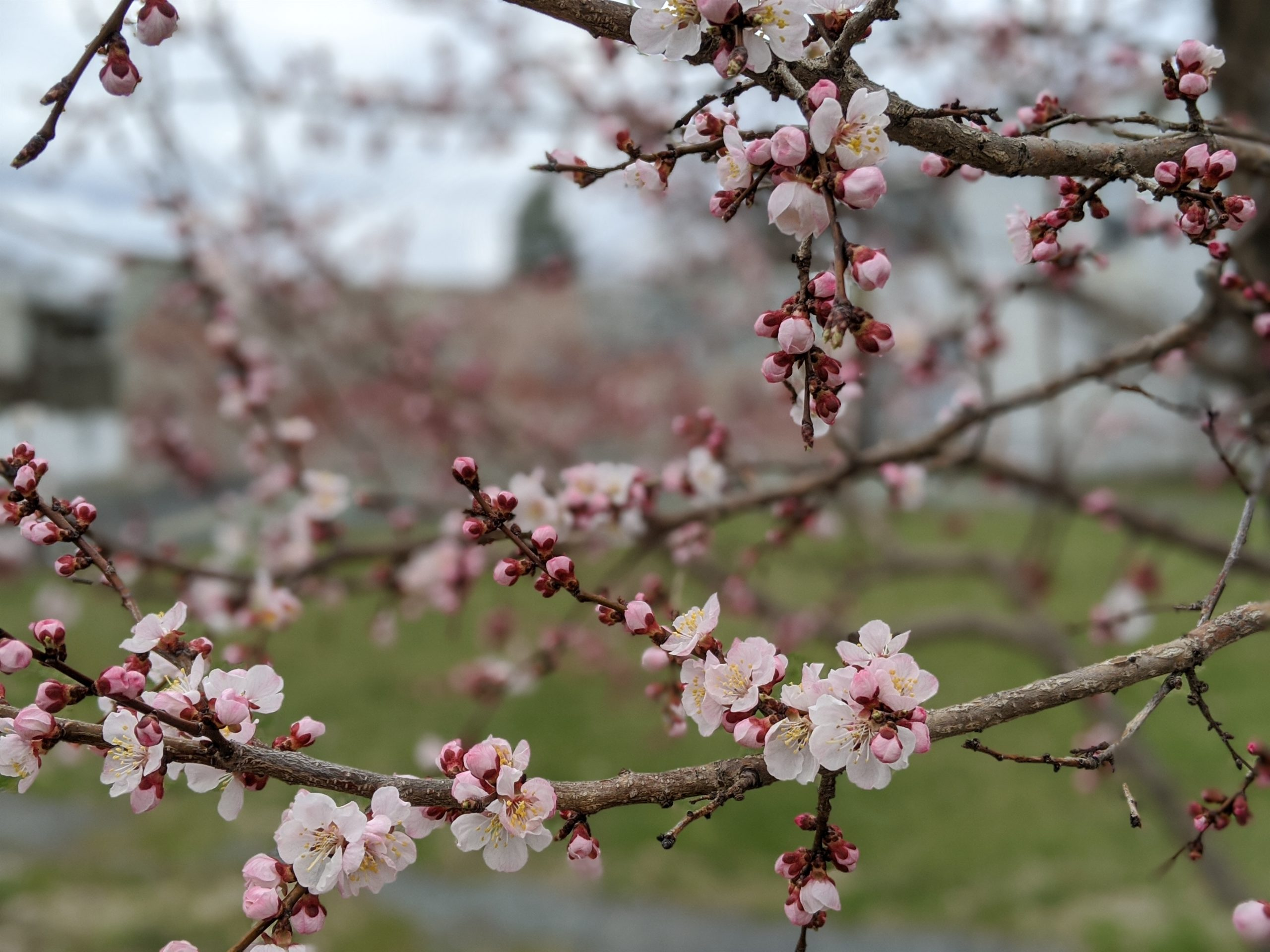 Apricots blossoming in Collard City Growers gardens