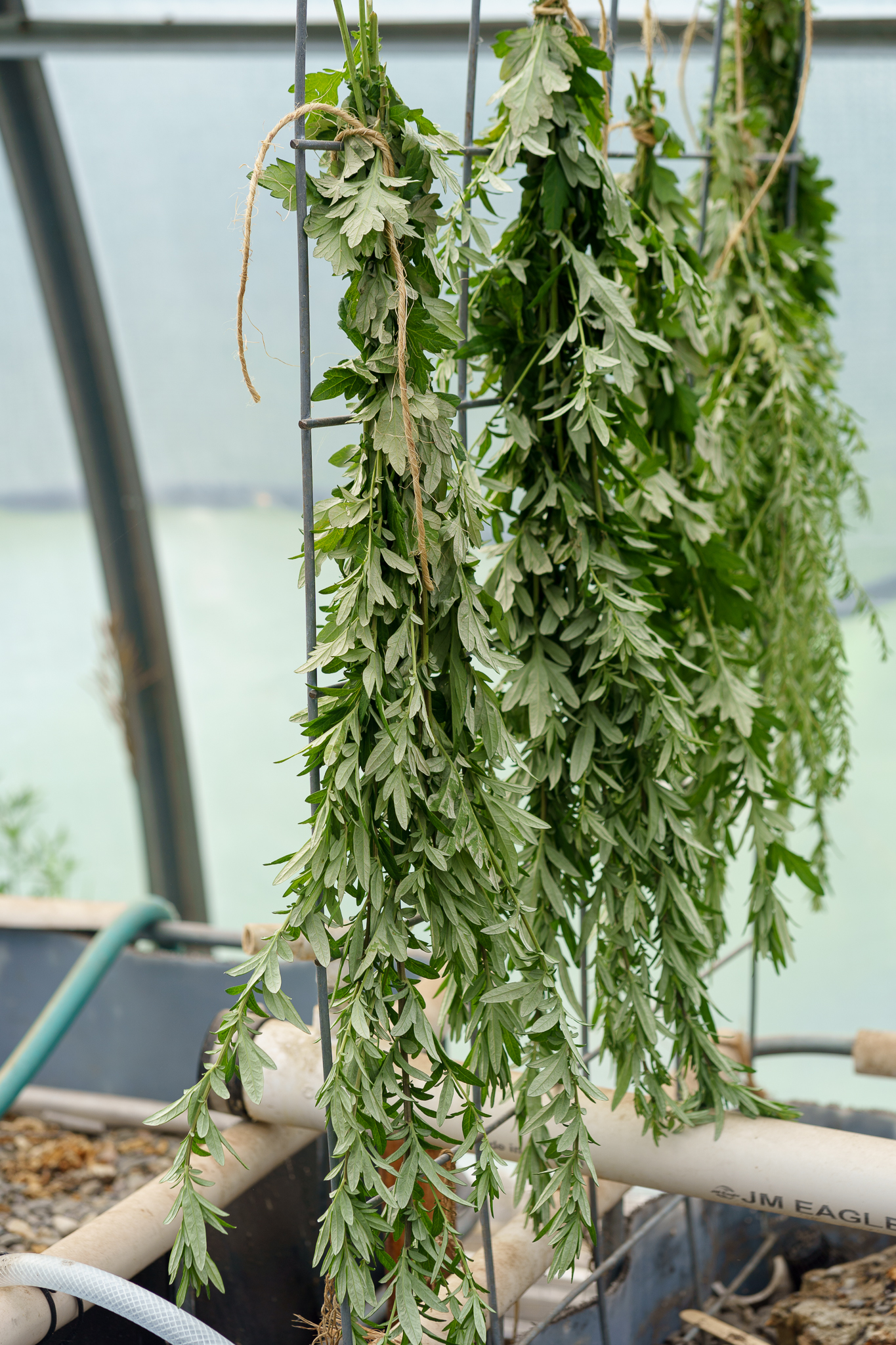 Garlic Planting and Herbal Remedies